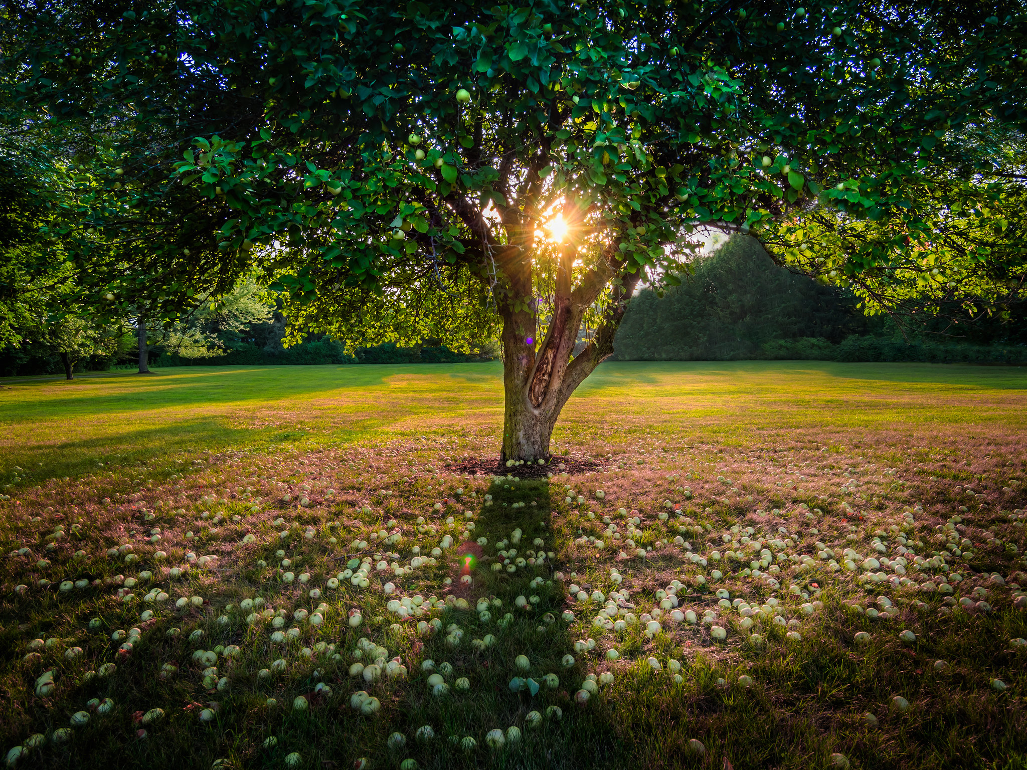 An apple tree at sunset.